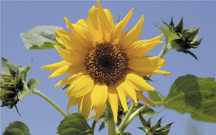 EM-Sonnenblume-001-15cm
