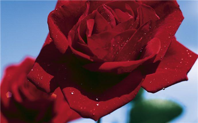 EM-Rose-005-40cm.eps
