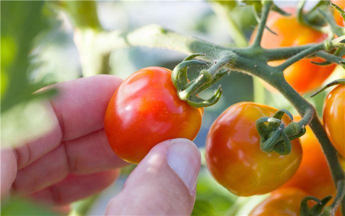 Tomato-E-001