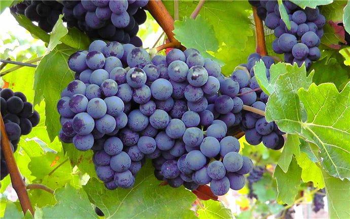 Grapes-E-001