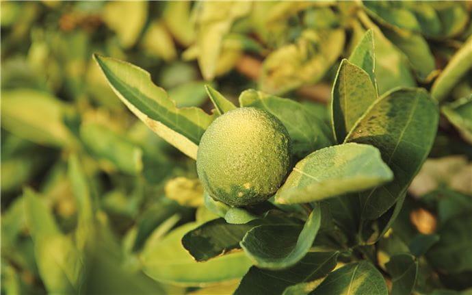 Lemon-E-003