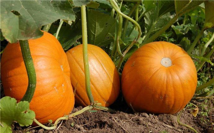 Pumpkin-E-002
