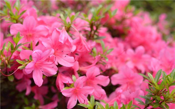 Rhododendron-E-002
