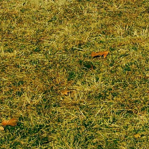 Grass with patches of yellow