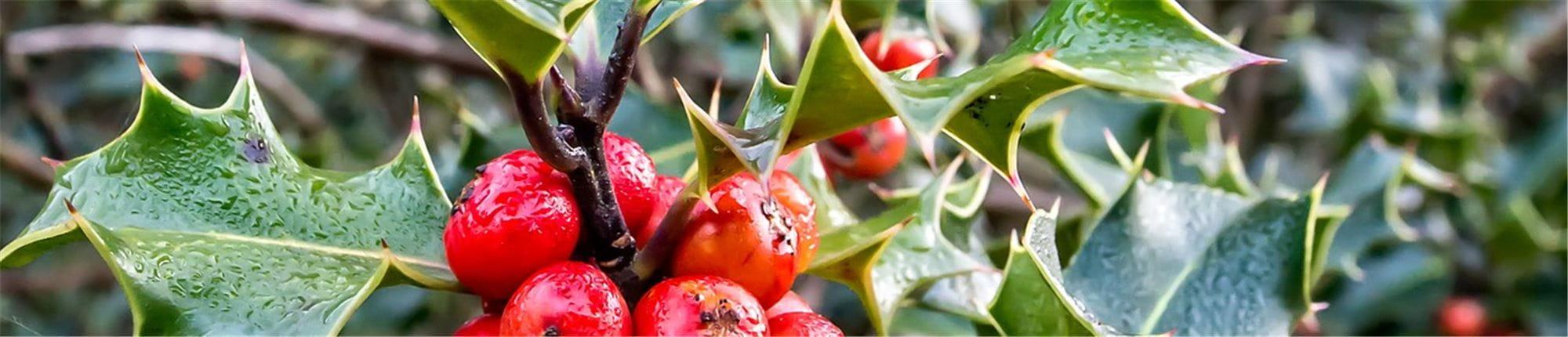 Quand Et Comment Tailler Un Houx la plante du mois de décembre : le houx - gardena