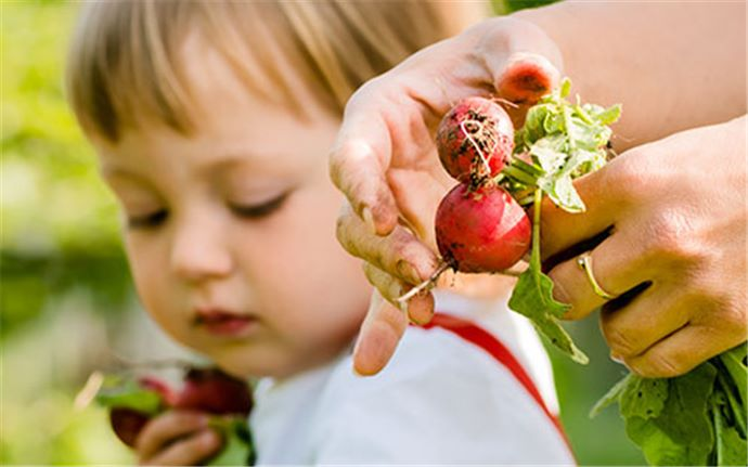 Adult and child harvesting red radishes