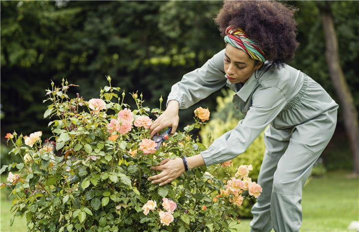 Pruning a rose bush