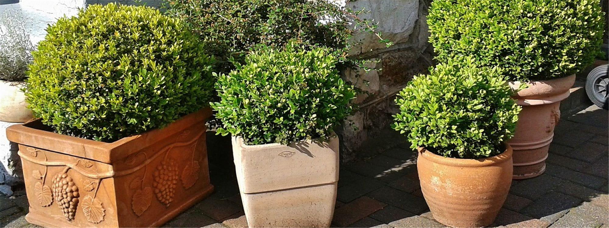 Planter Une Bordure De Buis la plante du mois d'avril : le buis - gardena