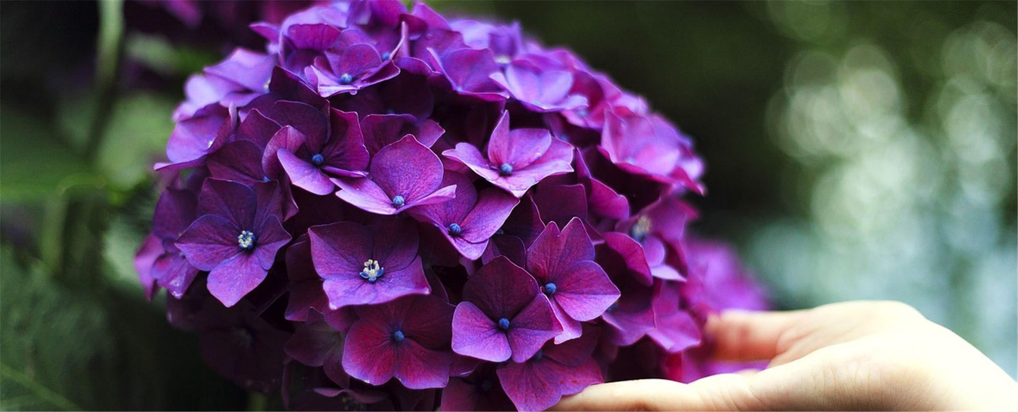 Plante A Planter En Septembre la plante du mois de septembre : l'hortensia - gardena