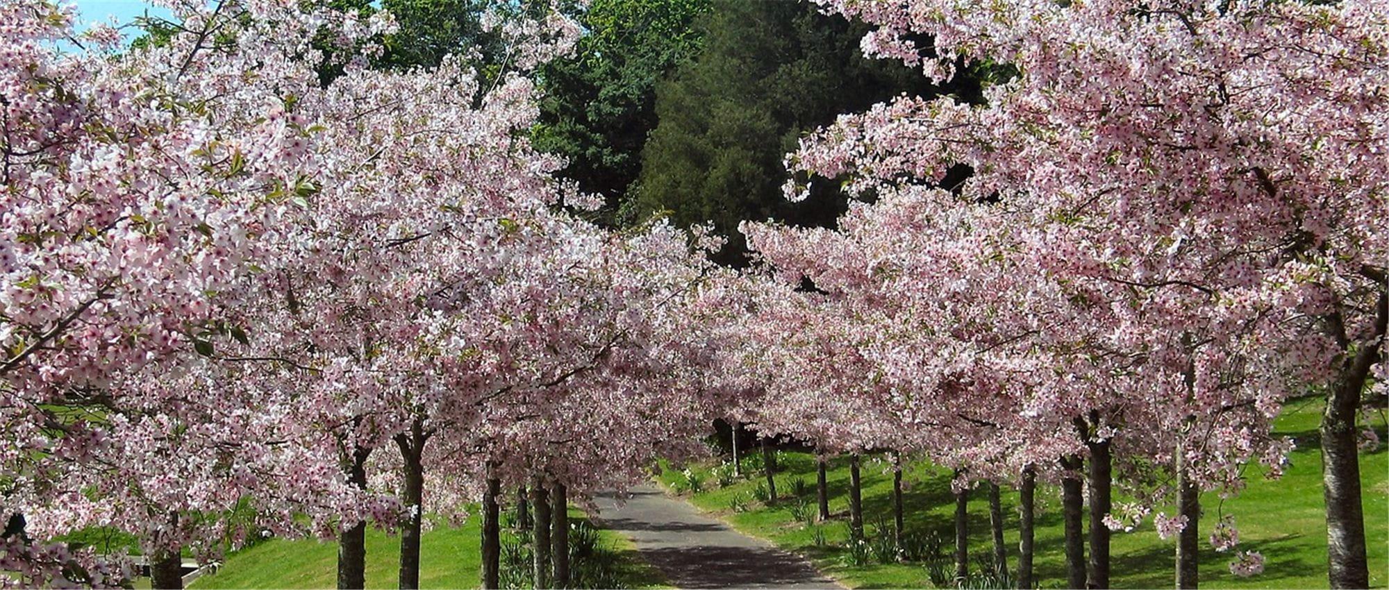 Hauteur Cerisier Du Japon cerisier du japon : plantation, taille et entretien - gardena