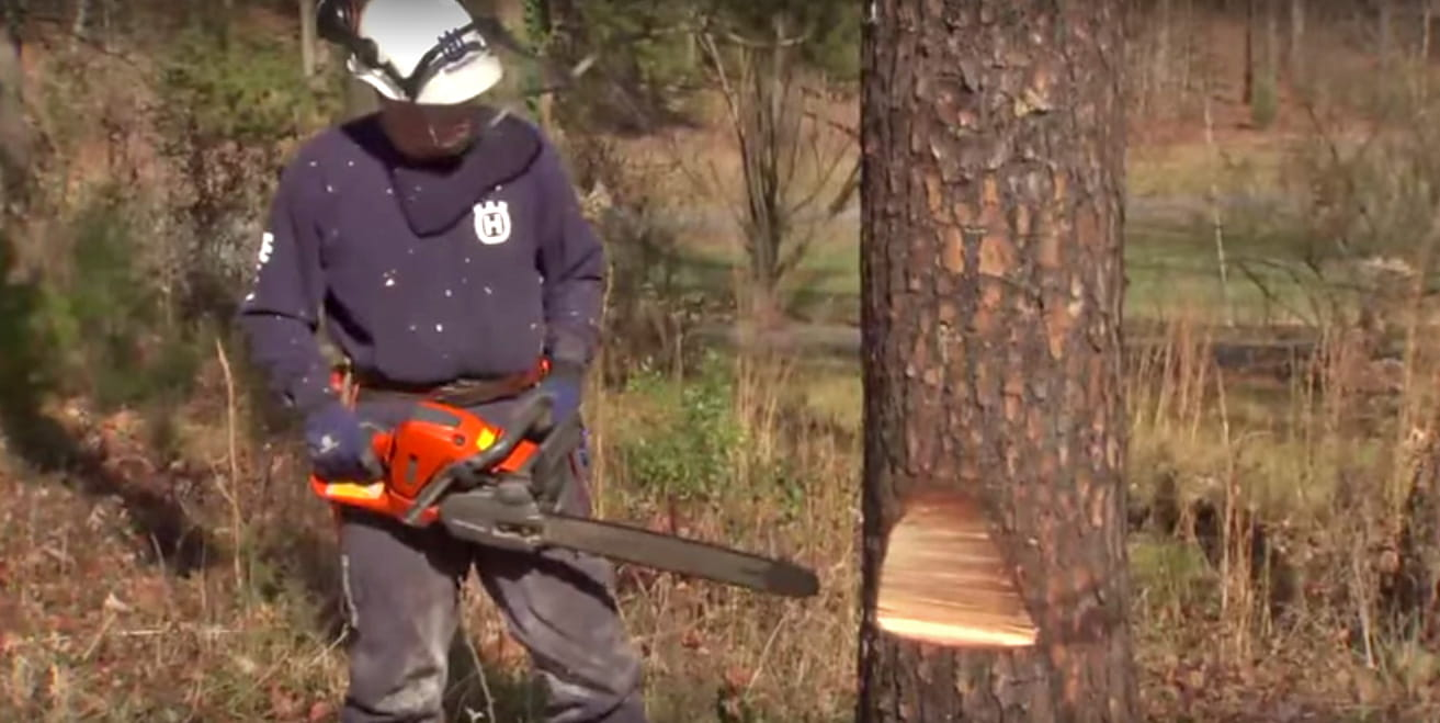 How to to fell a tree using a chainsaw