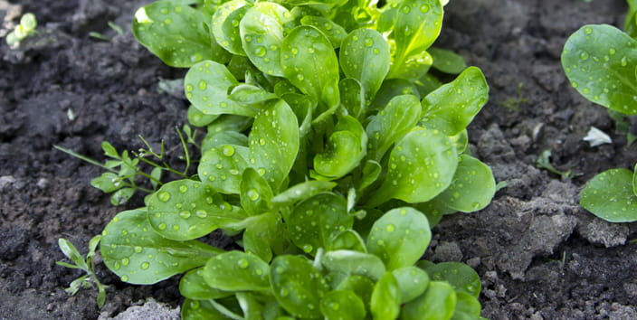 august job blogs, lambs lettuce